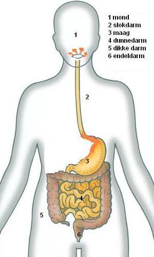 Spijsvertering Hart Longen Lever En Nieren